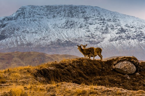 Two deer on the mountains at Glencoe, Scotland